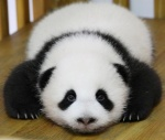 baby panda3