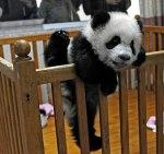 baby_panda_m