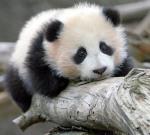 cute baby panda 005
