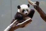 cute baby panda 006