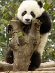 cute baby panda 013