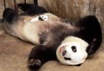 cute baby panda 017