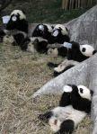 cute baby panda 021
