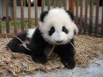 cute baby panda 026