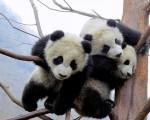 cute-panda-cubs