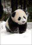 Researchers Care Panda At The Wolong Giant Panda Bear Research Center