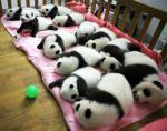 panda-babies
